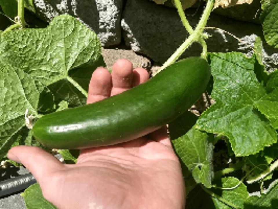 Diva_Cucumber