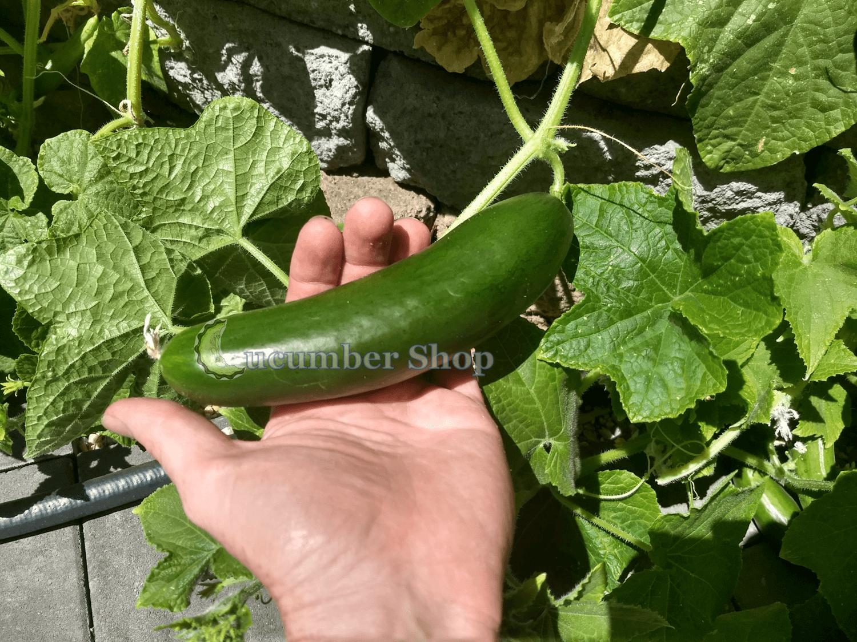 Diva_Cucumber_Seeds