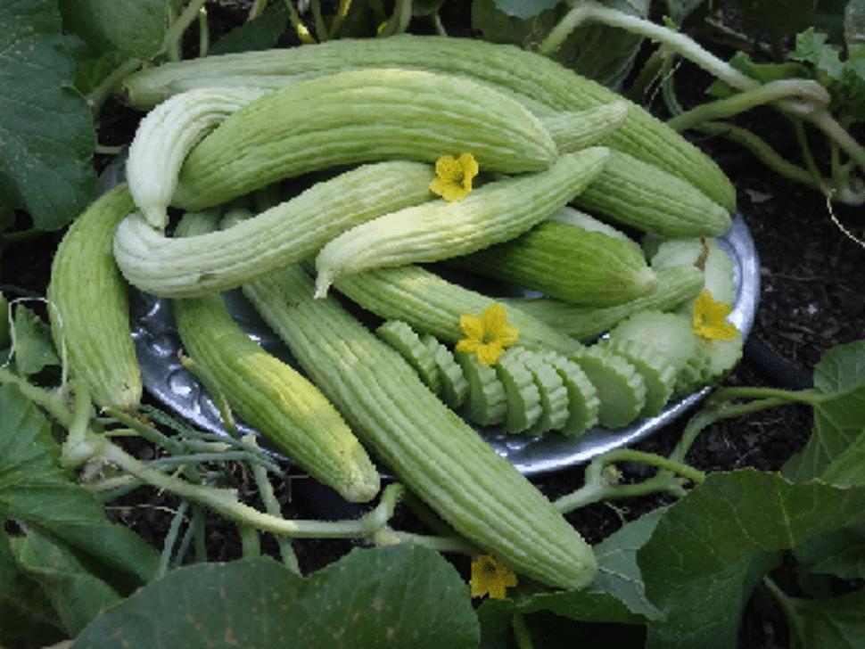 Light_Armenian_Cucumber