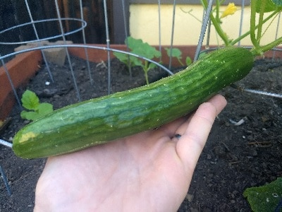 English Telegraph Cucumber
